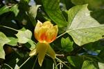 http://www.biopix.dk/PhotosSmall/JCS%20Liriodendron%20tulipifera%2038396.jpg