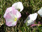 Ager-snerle (Convolvulus arvensis) foto