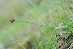 Falklands-star (Carex macloviana) foto