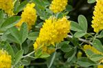 Argyrocytisus battandieri foto