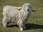 Ged (Mohairged) (Capra hircus (Mohair)) foto