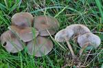 Gødnings-tragthat (Clitocybe amarescens) foto