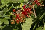 Have-Ribs (Ribes rubrum) foto