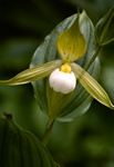 Cypripedium cordigerum foto