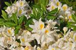 Rhododendron (Persil) foto
