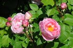 Rosa (Constance Spry) foto