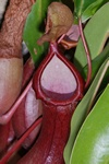 Kandebærer x (Nepenthes x) foto