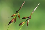 Loppe-star (Carex pulicaris) foto