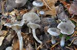 Mel-tragthat (Clitocybe ditopus) foto