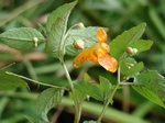 Orange Balsamin, Kap-balsamin (Impatiens capensis) foto