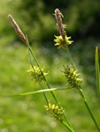 Skede-star (Carex hostiana) foto