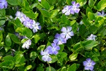 Stor Singrøn (Vinca major) foto