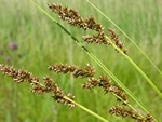 Top-star (Carex paniculata) foto