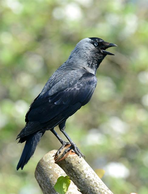 Allike (Corvus monedula) foto