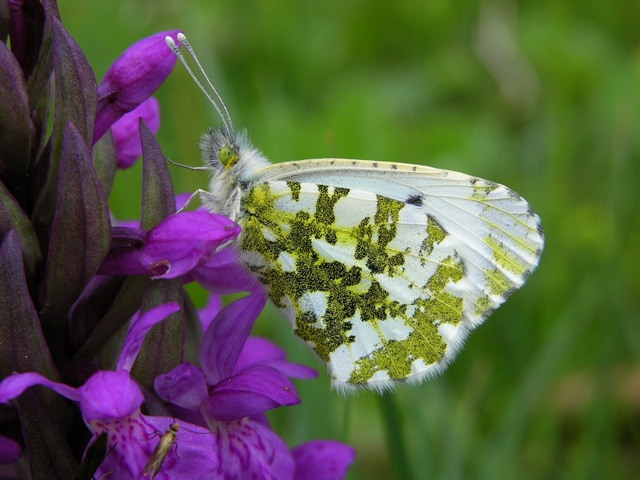 Aurora (Anthocharis cardamines) foto