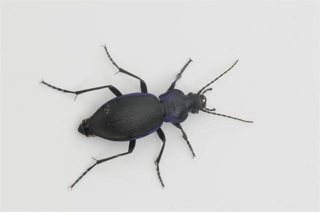 Jysk løber (Carabus problematicus)