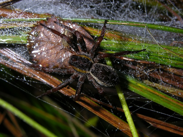 Stor rovedderkop (Dolomedes fimbriatus)