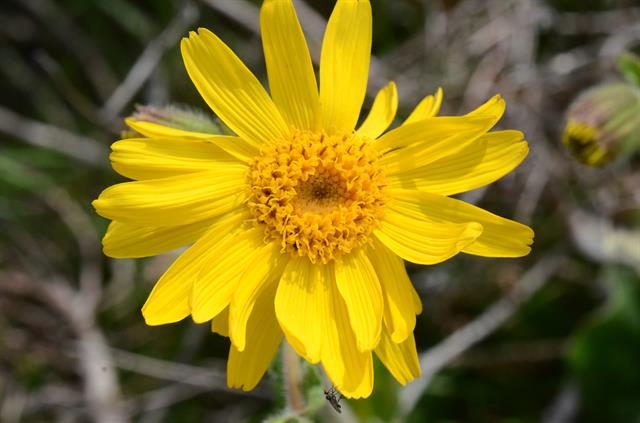 Guldblomme (Arnica montana) foto
