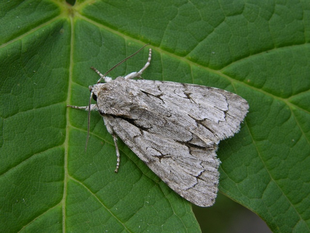 Psi-ugle (Acronicta psi)