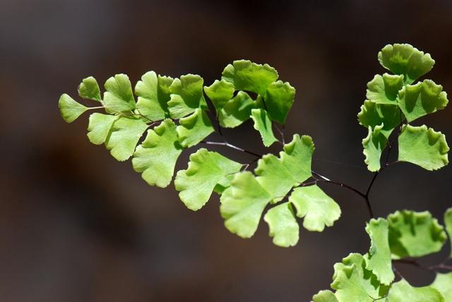 Ægte Venushår (Adiantum capillus-veneris)