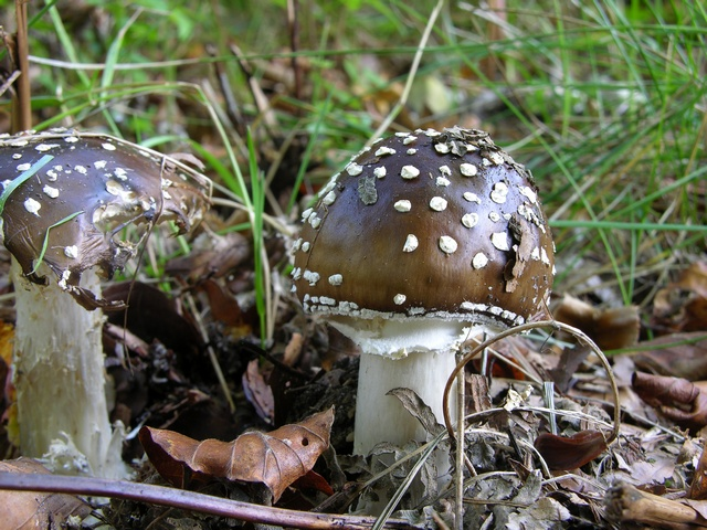 Panter-fluesvamp (Amanita pantherina)