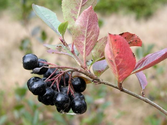 sortfrugtet surbær
