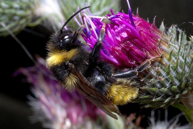 Agersnyltehumle (Bombus campestris)