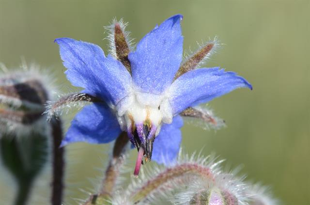 Hjulkrone (Borago officinalis)