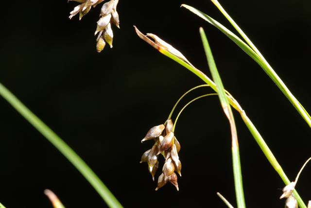 Hår-Star (Carex capillaris)