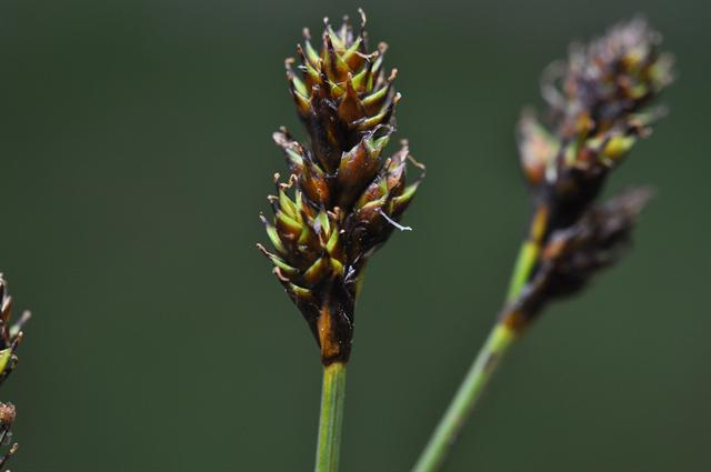 Rype-star (Carex lachenalii)