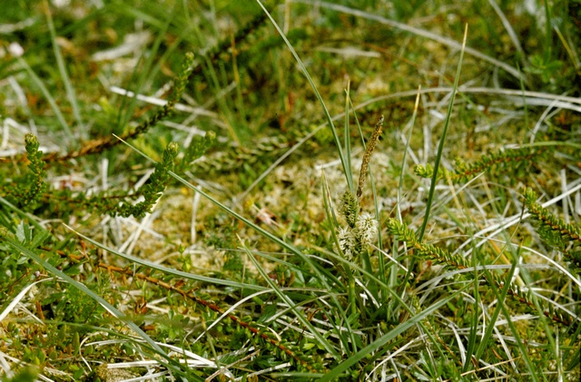 Klit-star (Carex trinervis)