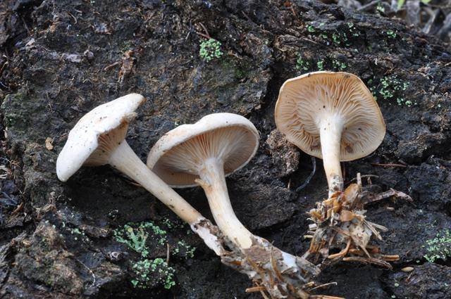 Kridt-tragthat (Clitocybe candicans)