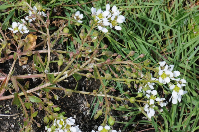 Engelsk Kokleare (Cochlearia officinalis ssp. anglica)