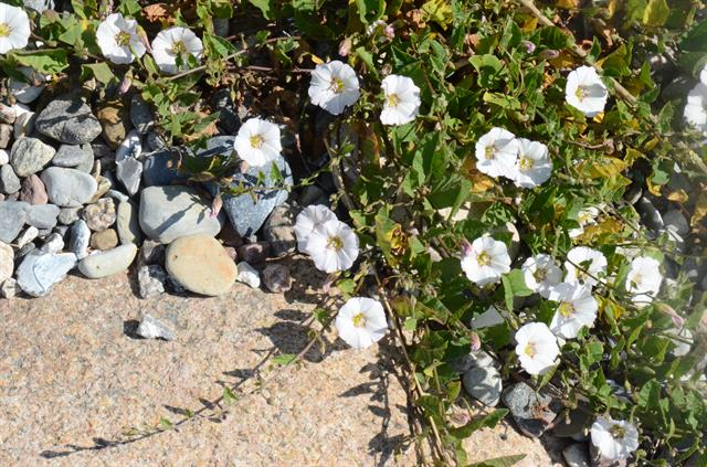Ager-snerle (Convolvulus arvensis)