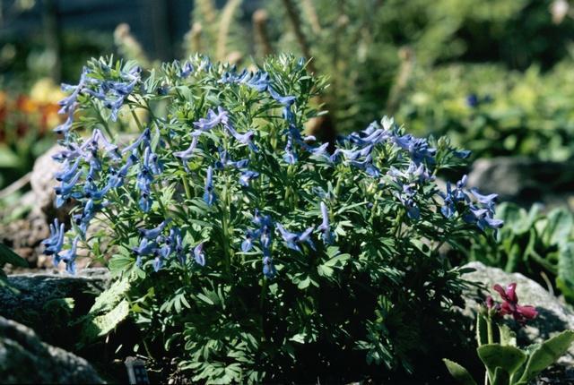 blå lærkespore