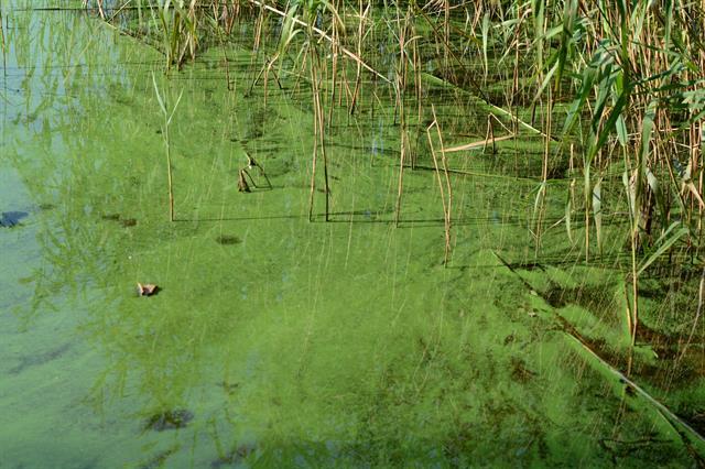 cyanobakterier