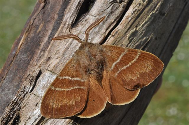 Macrothylacia rubi Foto © Biopix: JC Schou