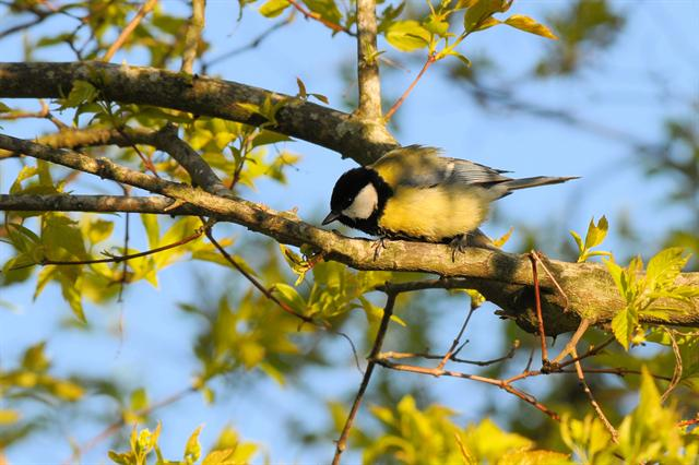 Musvit (Parus major)
