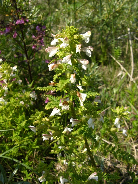 Eng-troldurt (Pedicularis palustris)