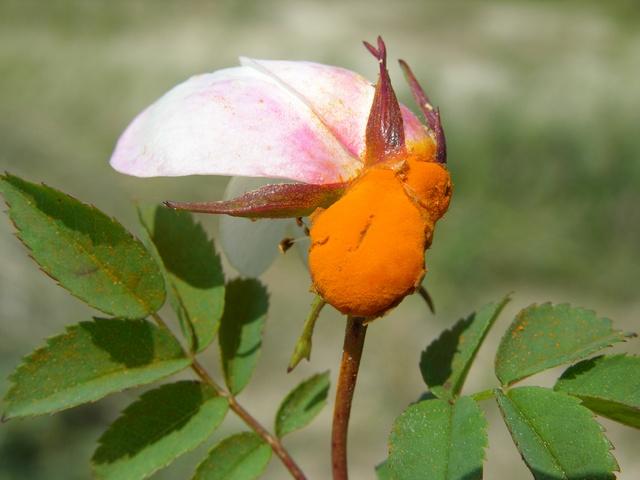 Phragmidium mucronatum biopix foto 39340 for Ruggine delle rose