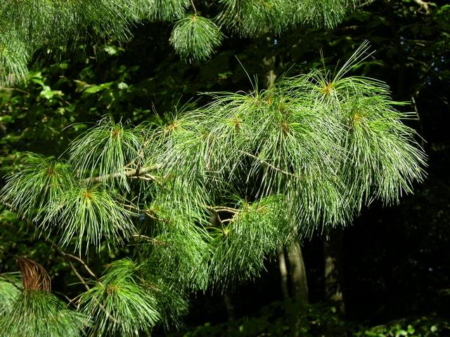 Skovhave rold skov note størrelse 3264x2448 silke fyr pinus peuce