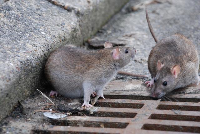 Brun rotte rattus norvegicus biopix foto 41160 - Come uccidere i topi in casa ...