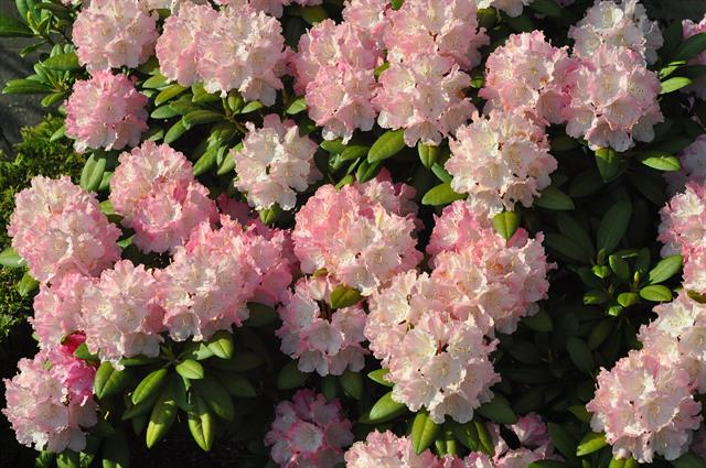 Rhododendron sp (Rhododendron sp.)