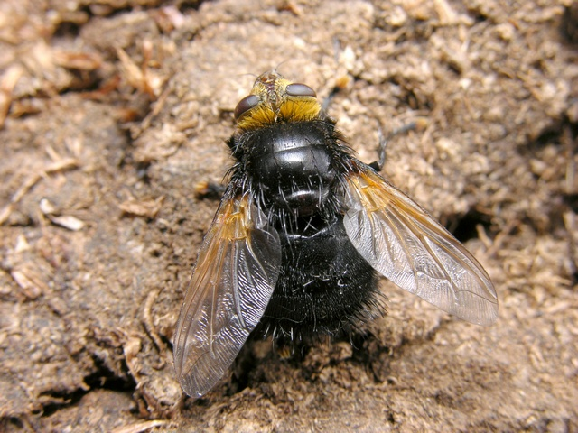 Kæmpefluen harald (Tachina grossa)