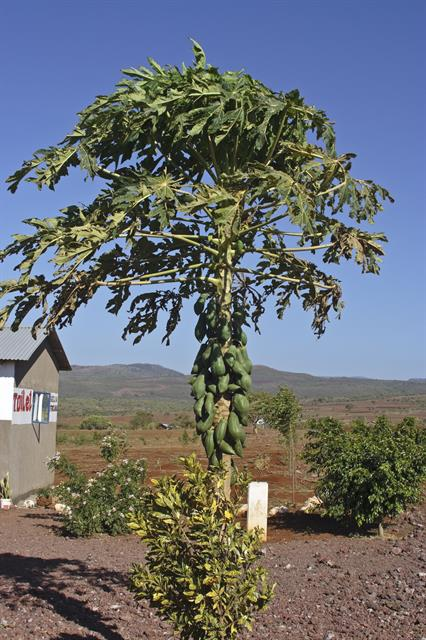 melontræ