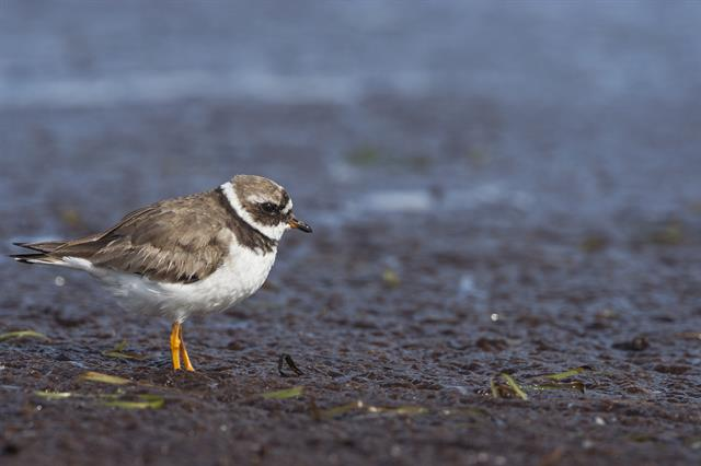 Stor præstekrave (Charadrius hiaticula)