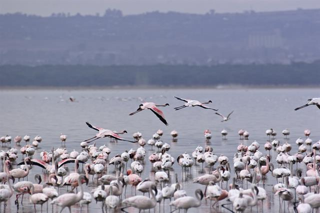 Lille Flamingo (Phoenicopterus minor)