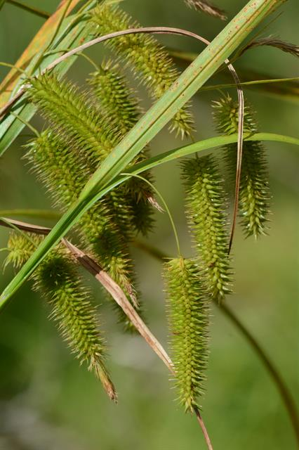 Knippe-star (Carex pseudocyperus) foto