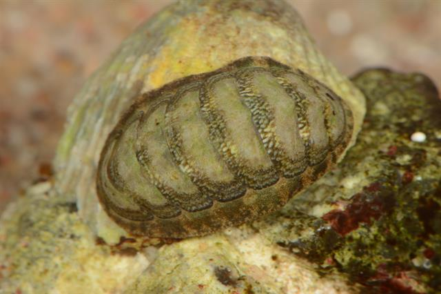 Lepidochitona cinerea