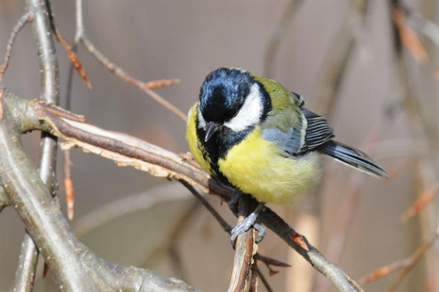 Musvit (Parus major) foto